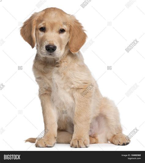 golden retriever puppies 1 month golden retriever puppy 2 months sitting in front of