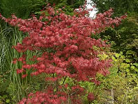 maple tree droopy leaves japanese maple tree how to grow and care for japanese maples garden helper gardening