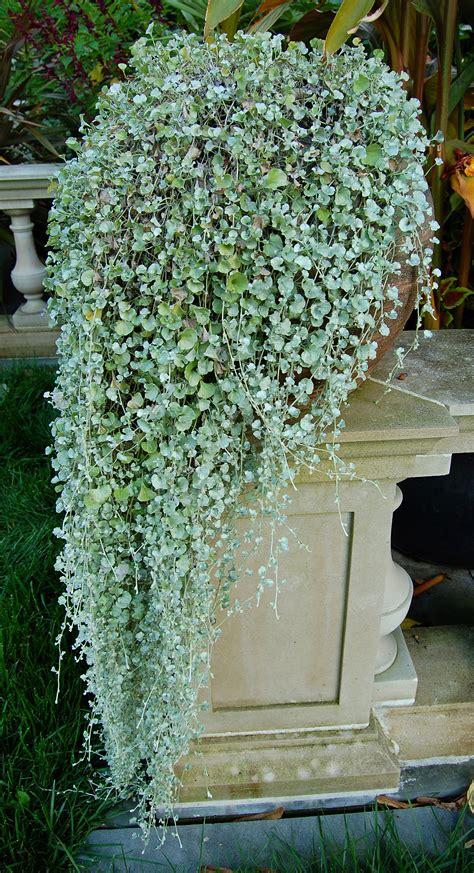 dichondra argentea silver falls westland greenhouses