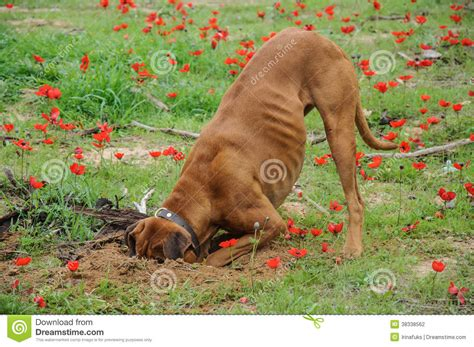 how to keep dogs from digging in flower beds digging dog thrust the head into a hole stock photography