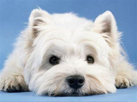 westie dogs westie wallpapers wallpaper cave