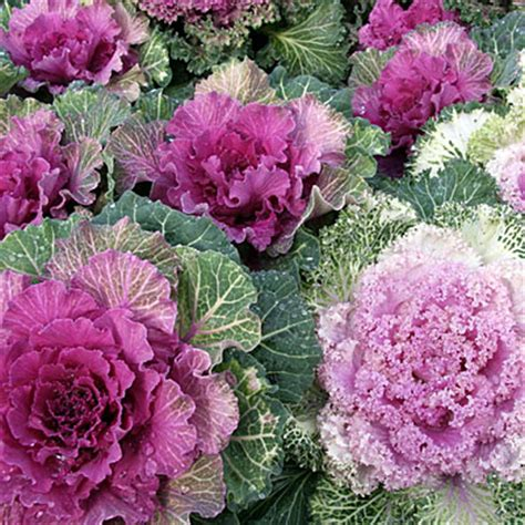 ornamental cabbage buy ornamental cabbage buy ornamental cabbage online at best