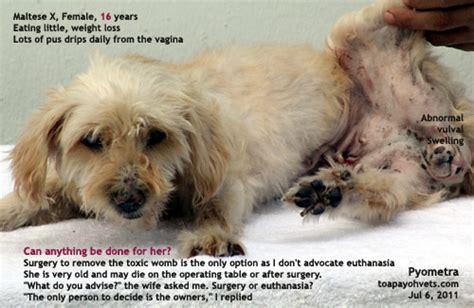 pyometra in dogs veterinary medicine surgery singapore toa payoh vets dogs cats rabbits guinea