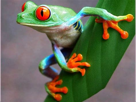colorful frogs 113 best images about frogs on trees