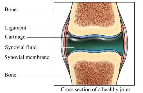 Healthy Section by Synovial Fluid Synovia