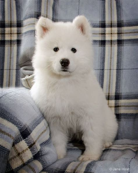 my female semoyed dog is not eating oooo and she is pregnant pets nigeria 17 best images about the smiling dog samoyeds on