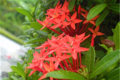 grow ixora flowering plants gardening
