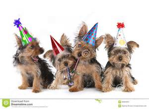 birthday theme yorkshire terrier puppies on white stock