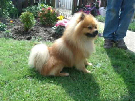 pomeranian history 99 best images about pomeranian dogs on guardians of ga hoole puppys and