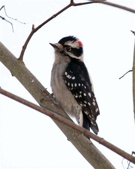downy woodpecker brian hson life and other things