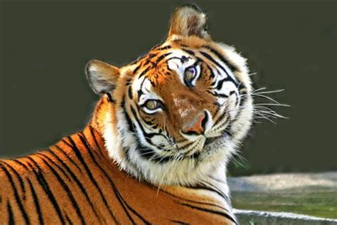 google images tiger tigers google search animal pictures pinterest