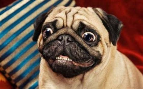 excited pug image gallery excited pug