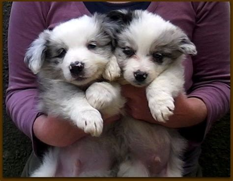 blue merle collie puppies for sale the gallery for gt blue merle border collie puppies for sale