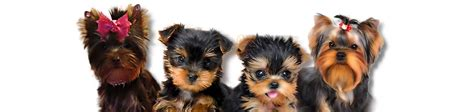 raising a teacup yorkie pin tea cup yorkies terriers on