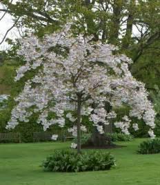 buy japanese cherry trees prunus shimidsu sakura