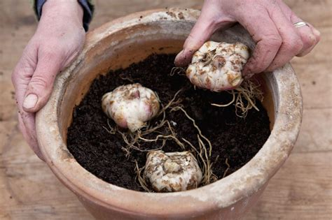 plant lily bulbs in containers gardenersworld com