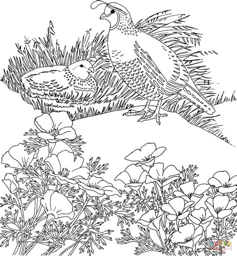 coloring page quail california valley quails and poppy flower coloring page
