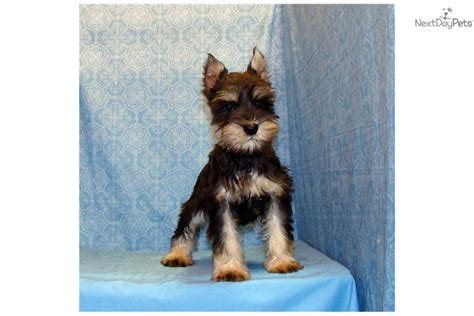 free puppies in fort smith arkansas miniature schnauzer puppies for sale miniature coat breeds picture