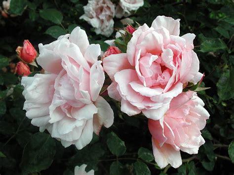 albertine climbing rose   plants garden supplies