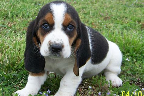 bassett hound puppies basset hound puppy 40 widescreen wallpaper dogbreedswallpapers