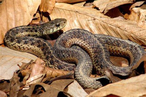 Garden Snake Pa Pa Herp Identification 187 Eastern Gartersnake