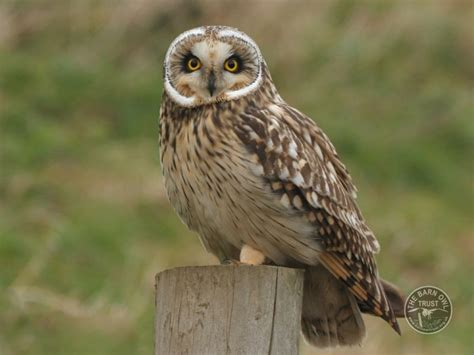 uk owl species short eared owl nick sford the