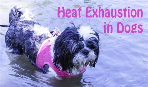 my shih tzu is seizures heat exhaustion in dogs oh my shih tzu
