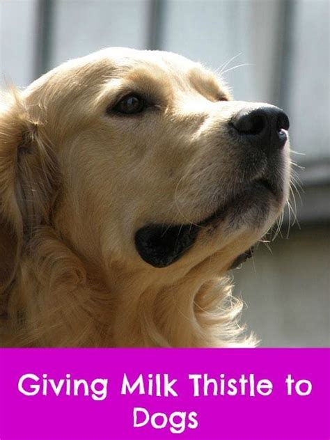 milk thistle for dogs where to buy milk thistle for dogs paws right here