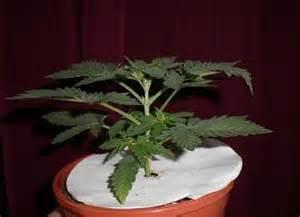 la culture du cannabis en ext 233 rieur encyclop 233 die azarius
