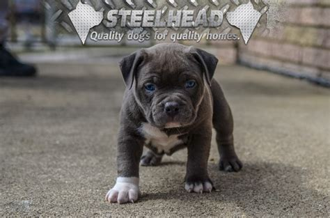 pocket bully puppies for sale pocket pit puppies available steelhead bullies