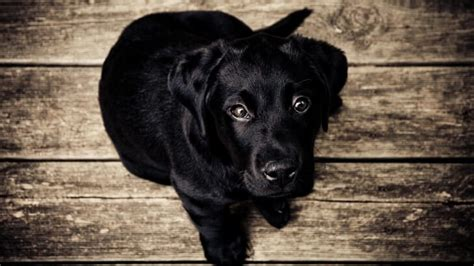 black lab puppy wallpaper animals hd wallpapers