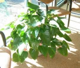 Foliage House Plant Identification - green house plant identification