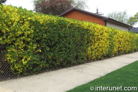 hedge  chain link fence combination interunet