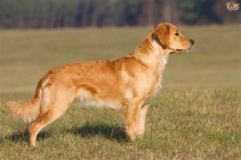 golden retriever golden retriever breed information buying advice