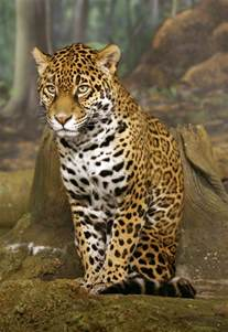 Photo Of Jaguar File Jaguar Sitting Edit1 Jpg
