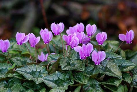 come curare i ciclamini in vaso ciclamini come curarli piante appartamento ciclamini cura