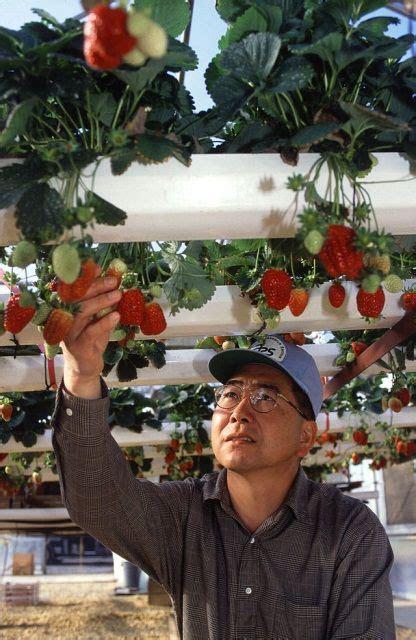 hydroponic strawberry usda  images homemade
