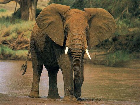 elephant wallpaper for laptop wallpapers african elephant wallpapers