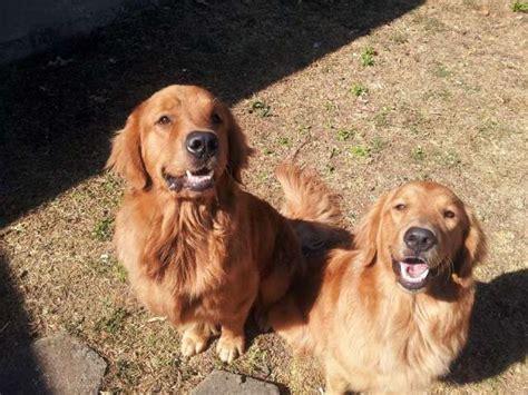 golden retriever costa rica cachorros golden retriever costa rica dogs in our photo