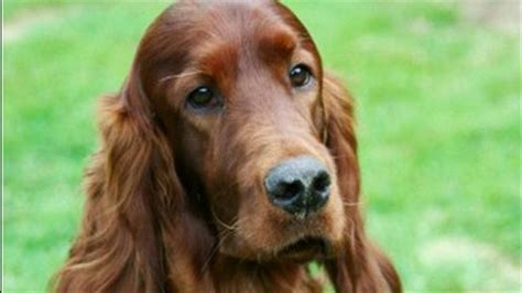 irish setter dog poisoned irish setter s alleged poisoning clouds dog show