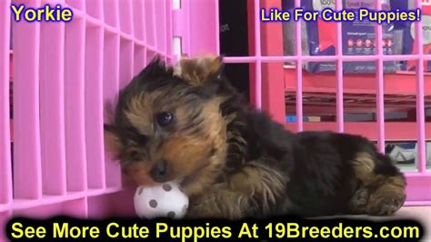 puppies for sale in wv craigslist terrier yorkie puppies dogs for sale in charleston west virginia wv