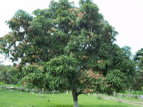 pictures of trees trees planet mangifera indica mango tree