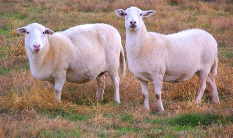 Meet Your Meat    The Katahdin Sheep ? The Conscious Carnivore