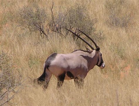 Gembok Auto 50 kalahari gemsbok np oryx 2