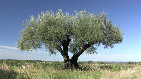 olive tree wallpaper olive stock footage