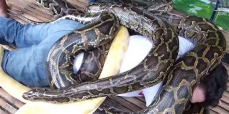 video film ular piton empat ular piton seberat 250 kg dijadikan tukang pijat