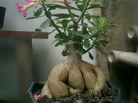 Pupuk Untuk Bunga Kamboja perbedaan adenium dengan bunga kamboja bibitbunga