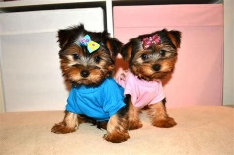yorkie puppies vancouver terrier for sale in clark county petzlover