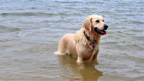 golden retriever in water dogs that to swim are at risk for a ailment