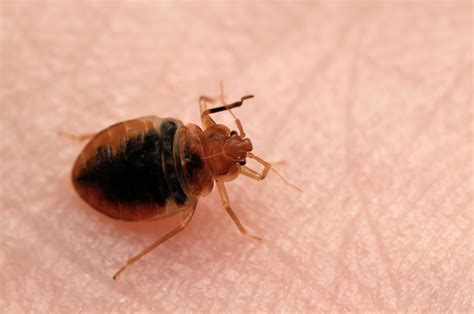 do bed bugs feed every night bed bug exterminator charlotte nc bed bug treatment